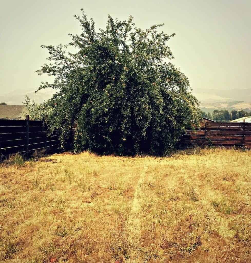 apple tree in field
