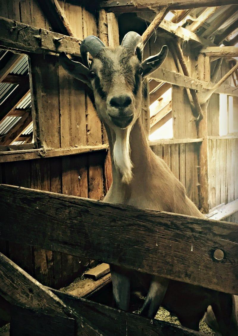 carlo the goat