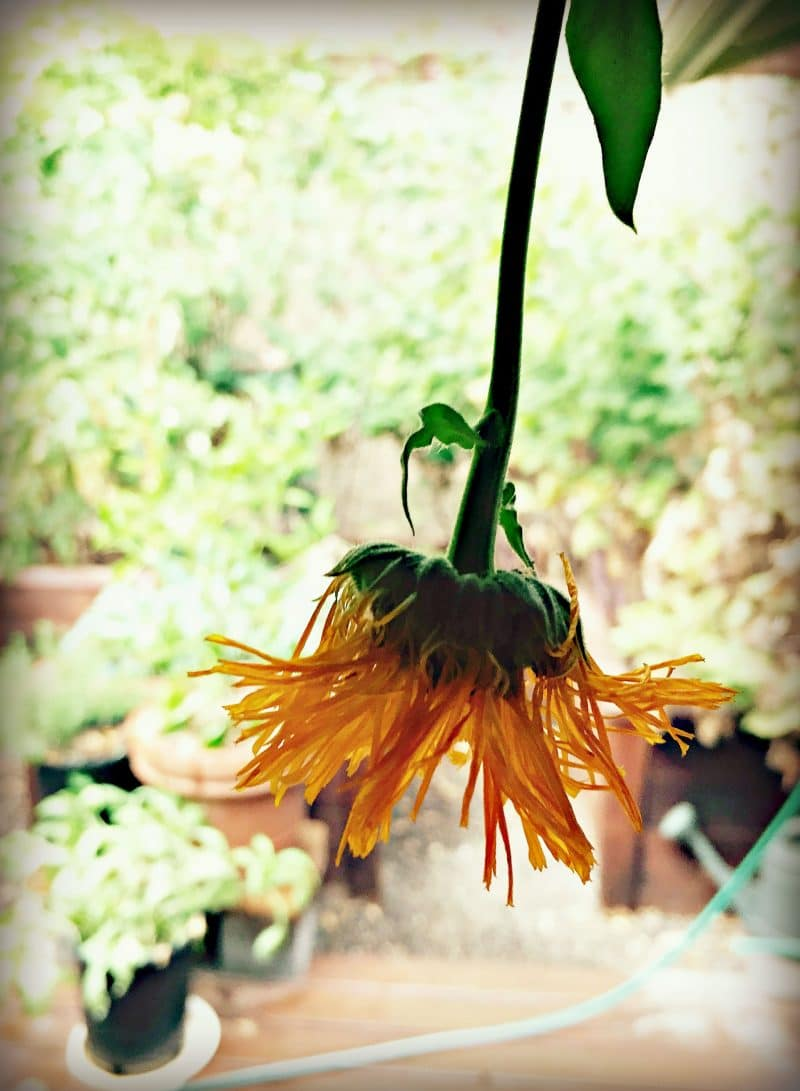 drying calendula flower