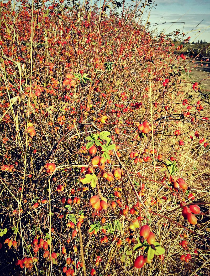 fields of rosehips