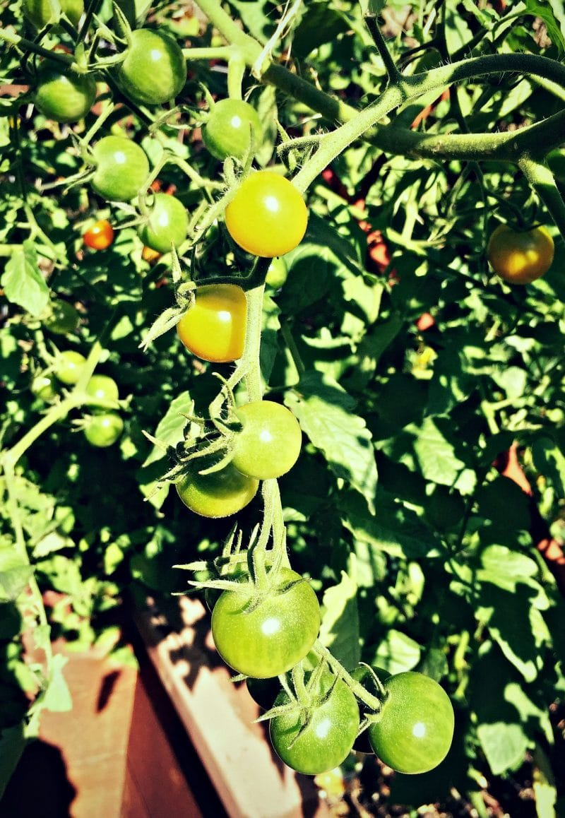 green orange cherry tomatoes