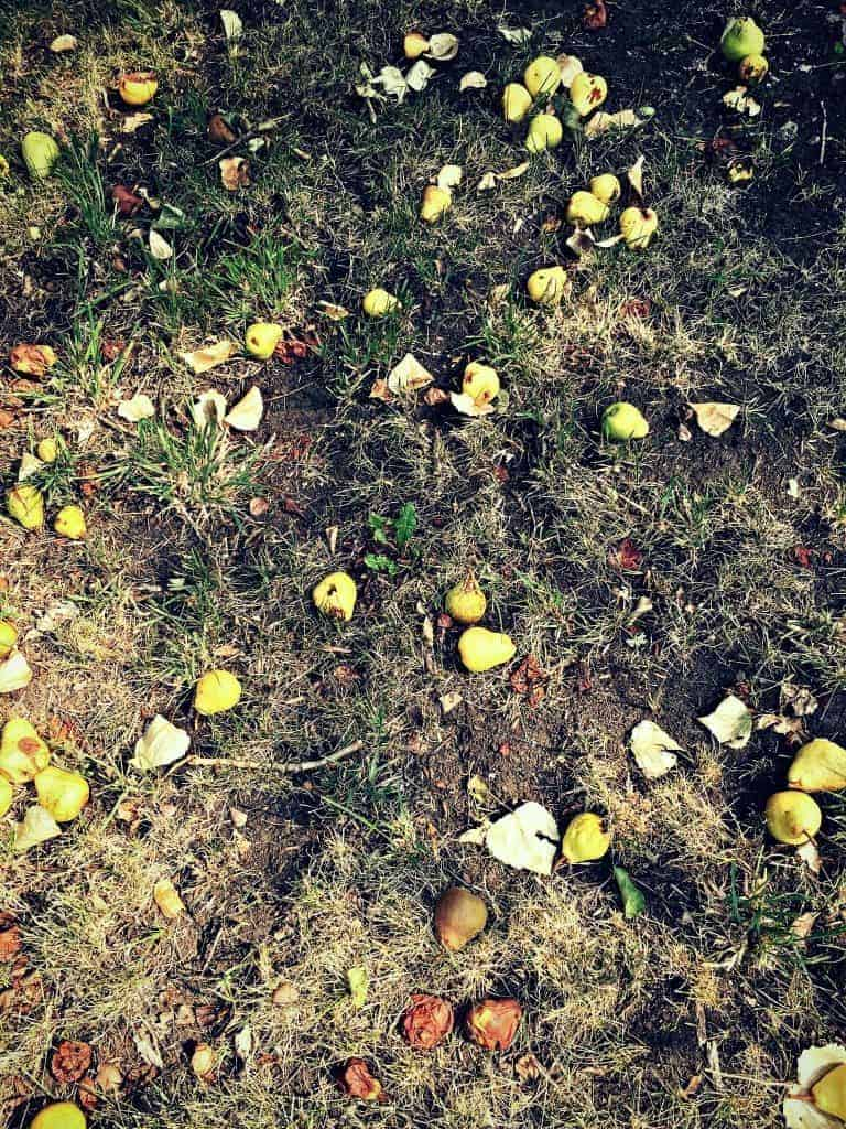 pears on ground