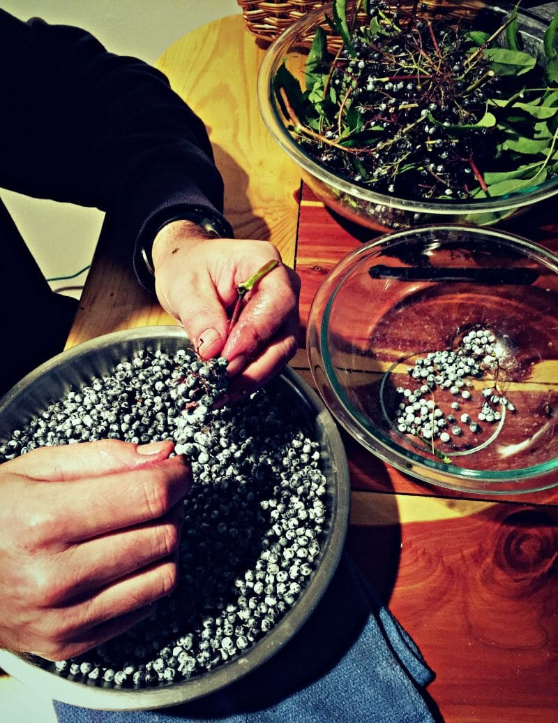picking the elderberries off the stem