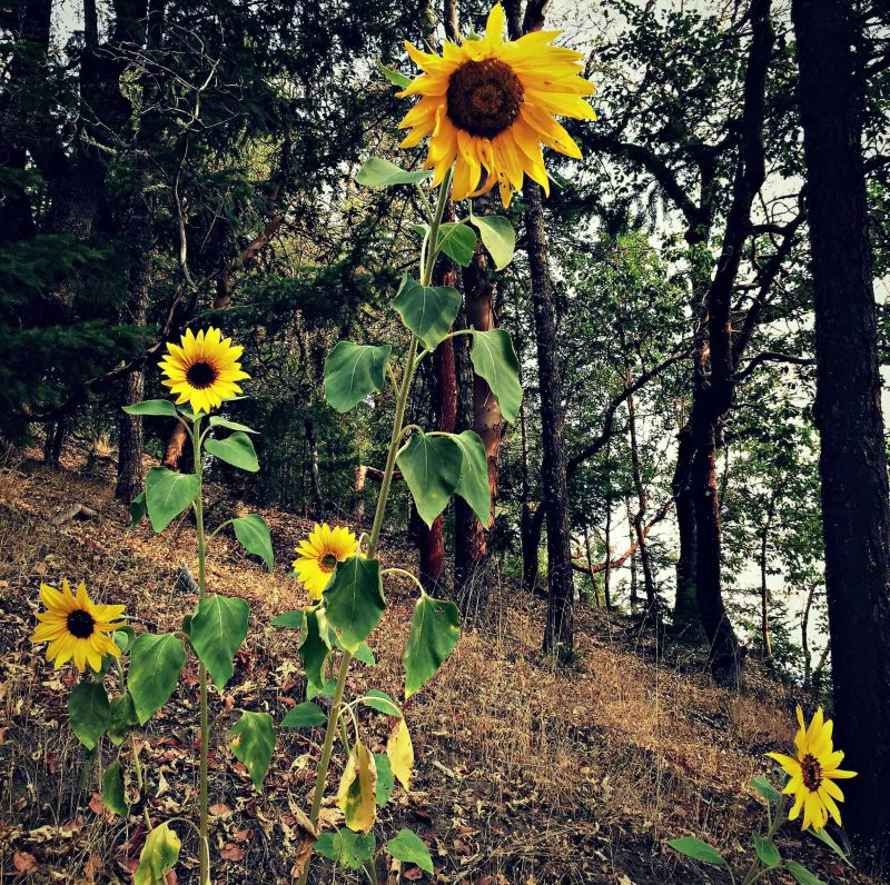 Updates and recent happenings sunflowers and calendula sunflowers blooming fandeluxe PDF