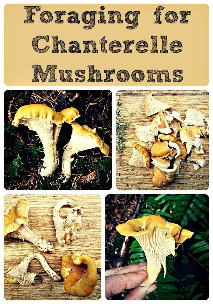 chanterelle mushrooms collage