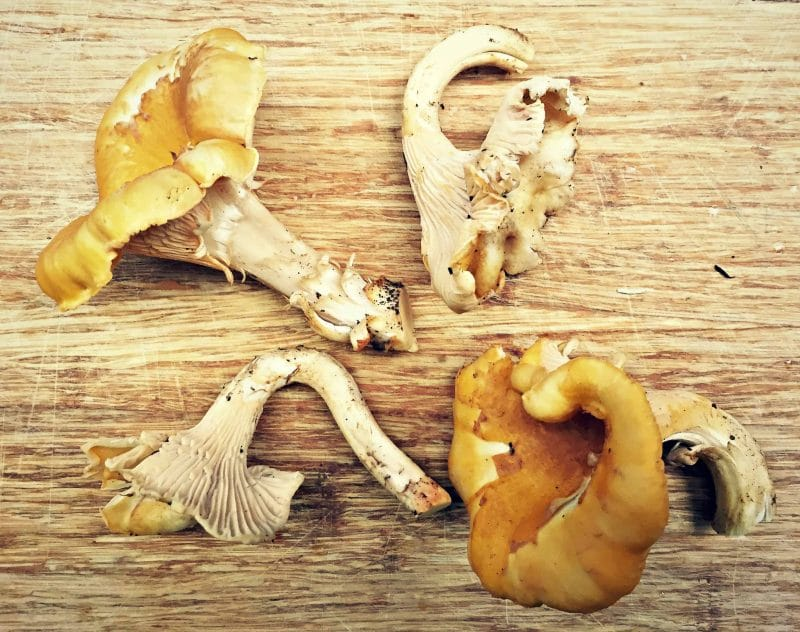 foraged chanterelles on a cutting board