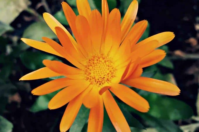 Updates and Recent Happenings: Orange Calendula and More Shrooms