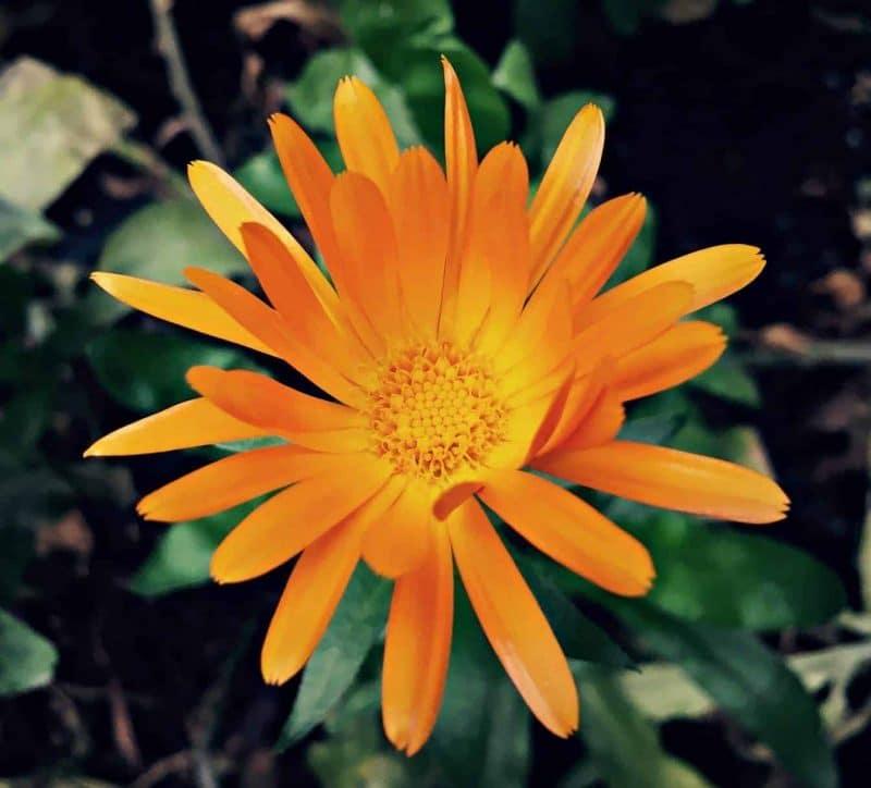 orange calendula 2