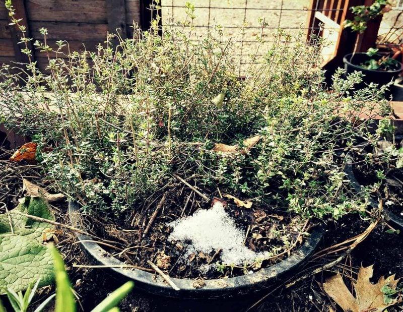 Buried Thyme