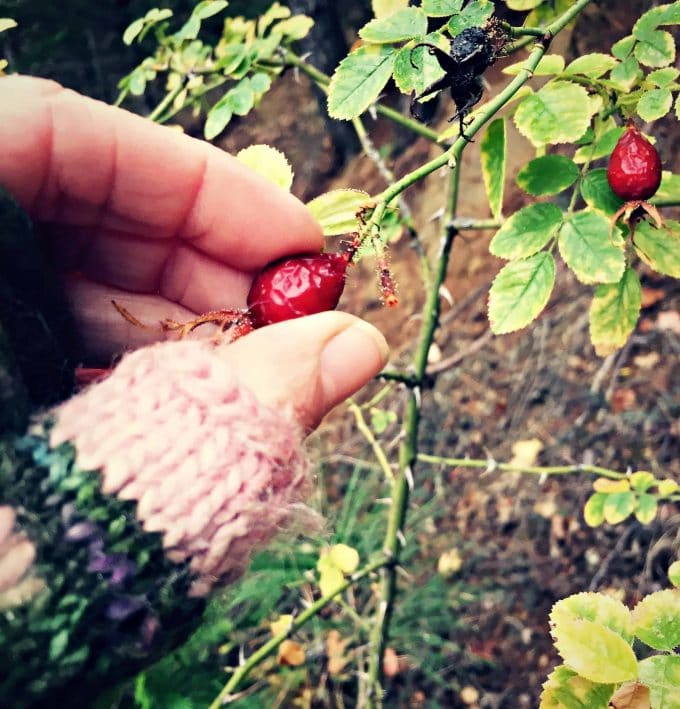 a hand picking rose hips