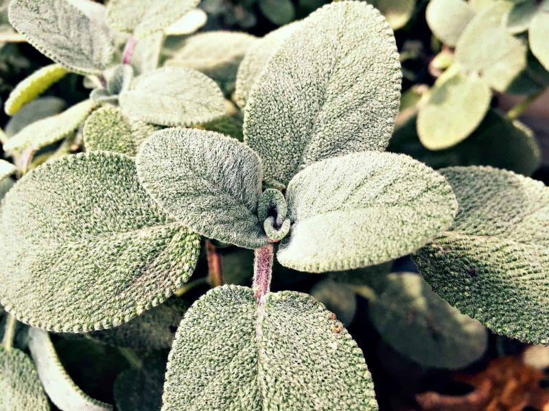 sage fuzzy leaves close up