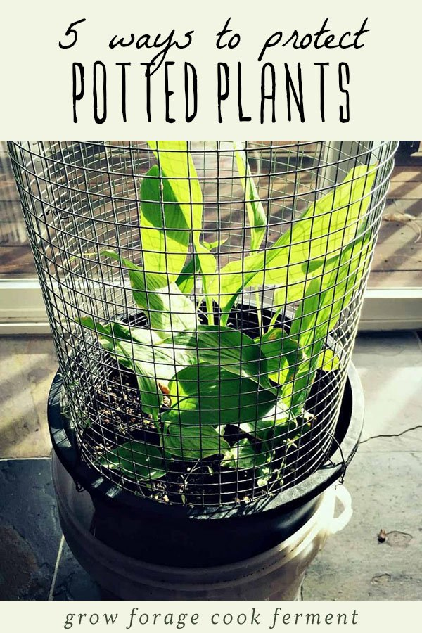 A potted plant protected with a wire cage.