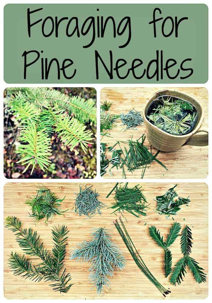Foraging for Pine Needles