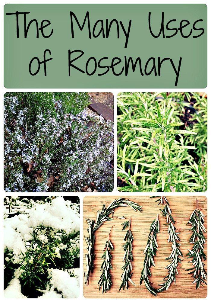 The Many Uses of Rosemary