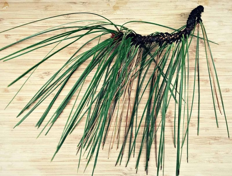 Foraging For Pine Needles And Other