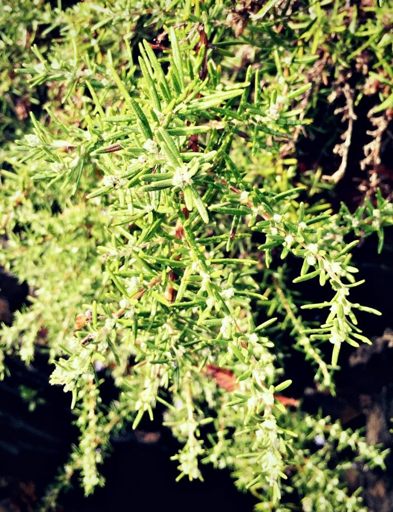 rosemary shrub