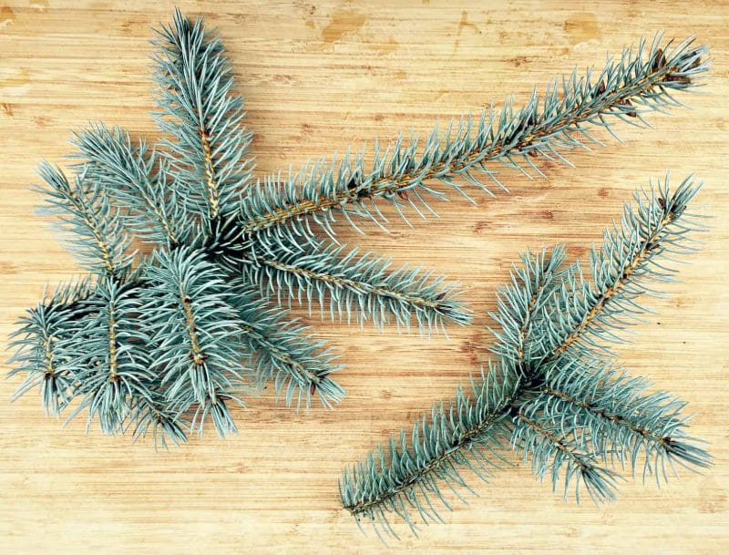 spruce needle branches