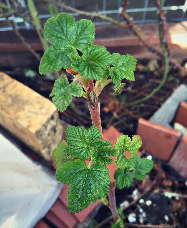 baby raspberry leaves
