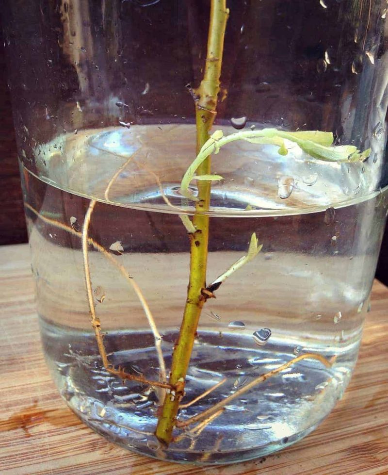 willow rooting