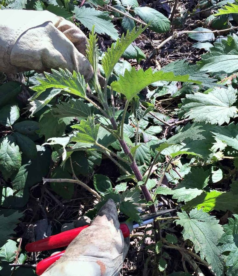 cut nettles with gloves
