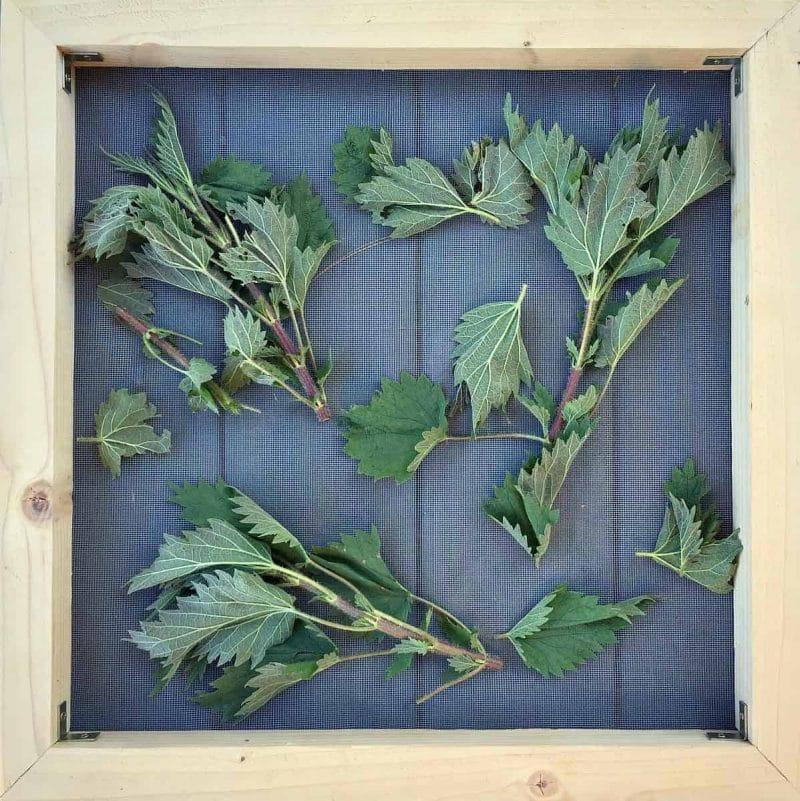 nettles on drying screen