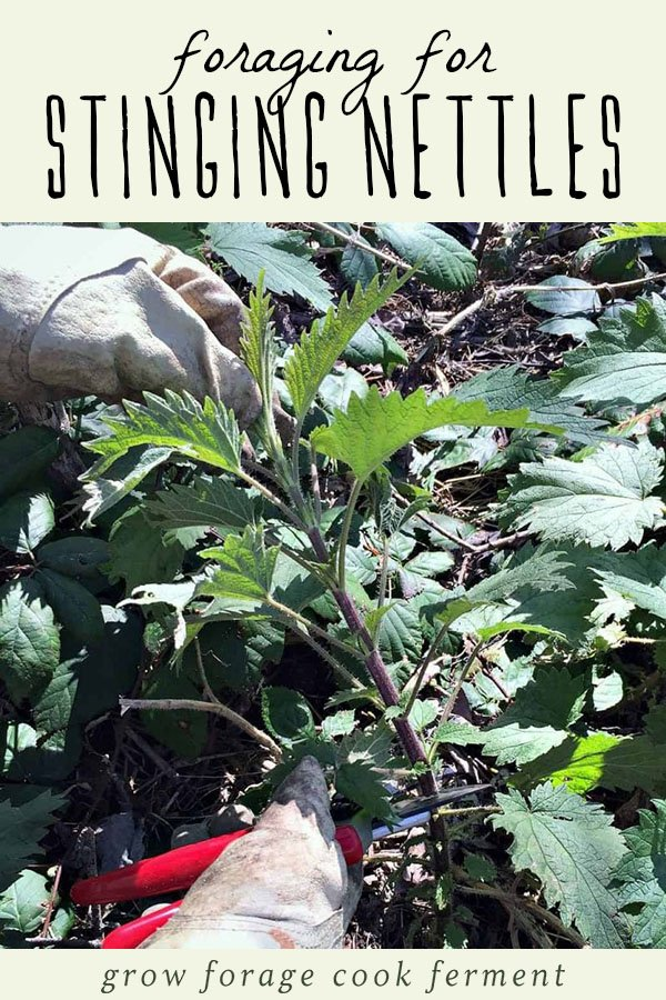 A woman's hand cutting wild stinging nettles.