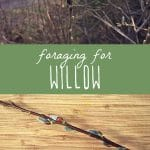 How to forage for willow.