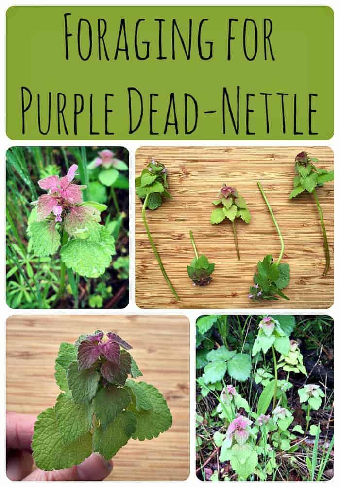 Foraging for Purple Dead Nettle