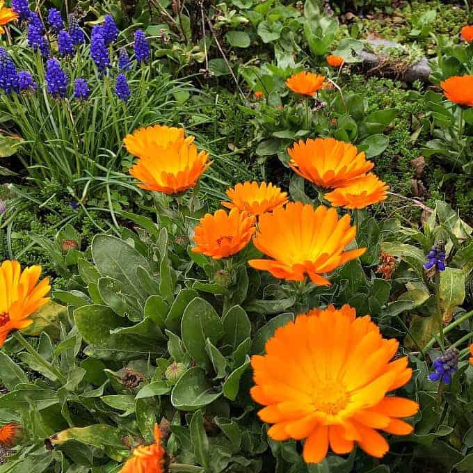 calendula garden
