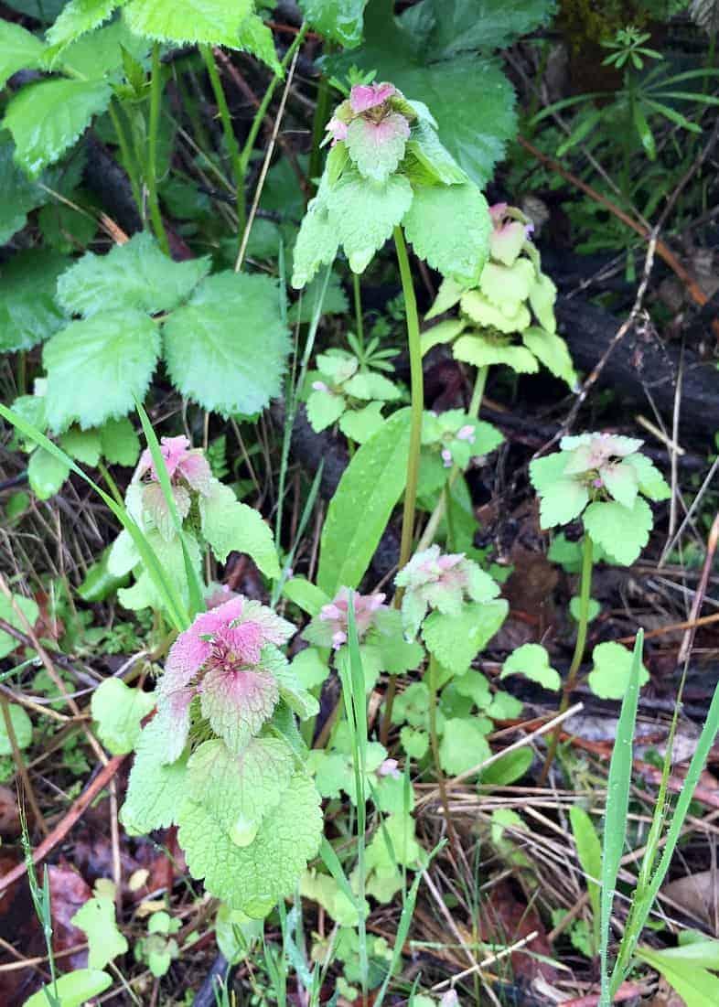 foraging for deadnettle