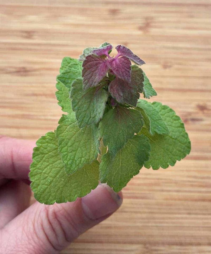 holding deadnettle