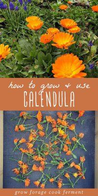 Calendula growing in a garden, and calendula flowers on a drying rack.