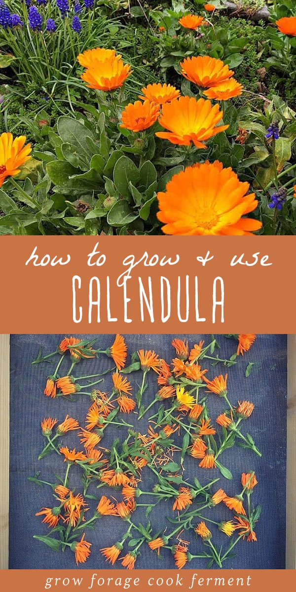Calendula is a plant that everyone should have in their yard, for multiple reasons. Calendula is a versatile plant with many herbal, medicinal, and culinary uses. It's easy to grow in your backyard garden, and makes for both a beautiful and usefl companion plant. Learn all about this amazing edible, medicinal, and beautiful herb! #gardening #herbalism