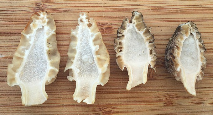 morel mushroom cross section