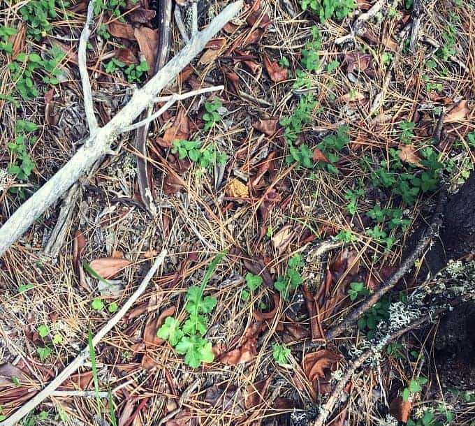 morel mushroom forest floor
