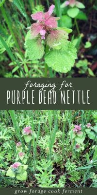 Purple dead nettle plants, and easy to forage for wild weed.