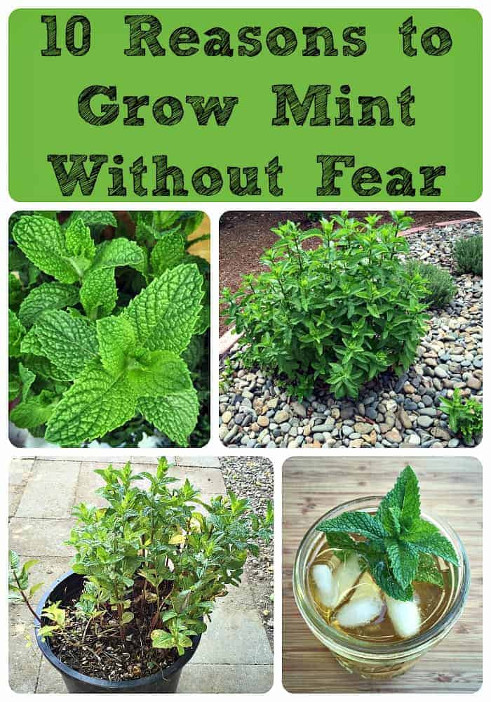 10 Reasons to Grow Mint (Without Fear)
