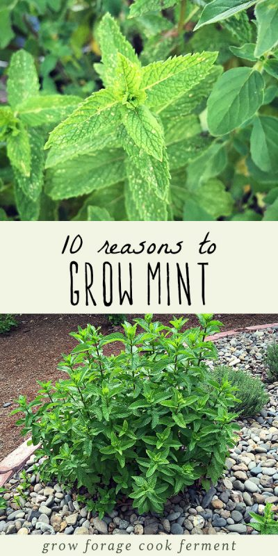 A large mint plant growing in a permaculture garden and fresh mint leaves.