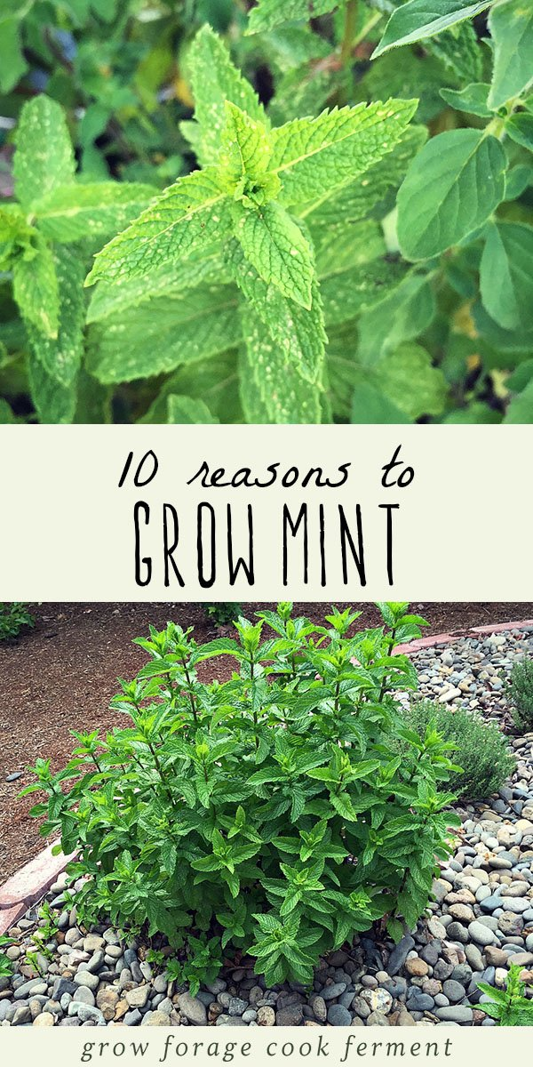 Mint has a bad reputation for taking over the garden, for good reason. But, there are many reasons to grow mint in your backyard without fear! Don't be afraid to grow mint! It has so many wonderful uses and can be grown without fear of taking over your garden. Learn all about how to grow mint in your garden and it's many culinary, medicinal, and herbal benefits. #mint #garden #herbalism