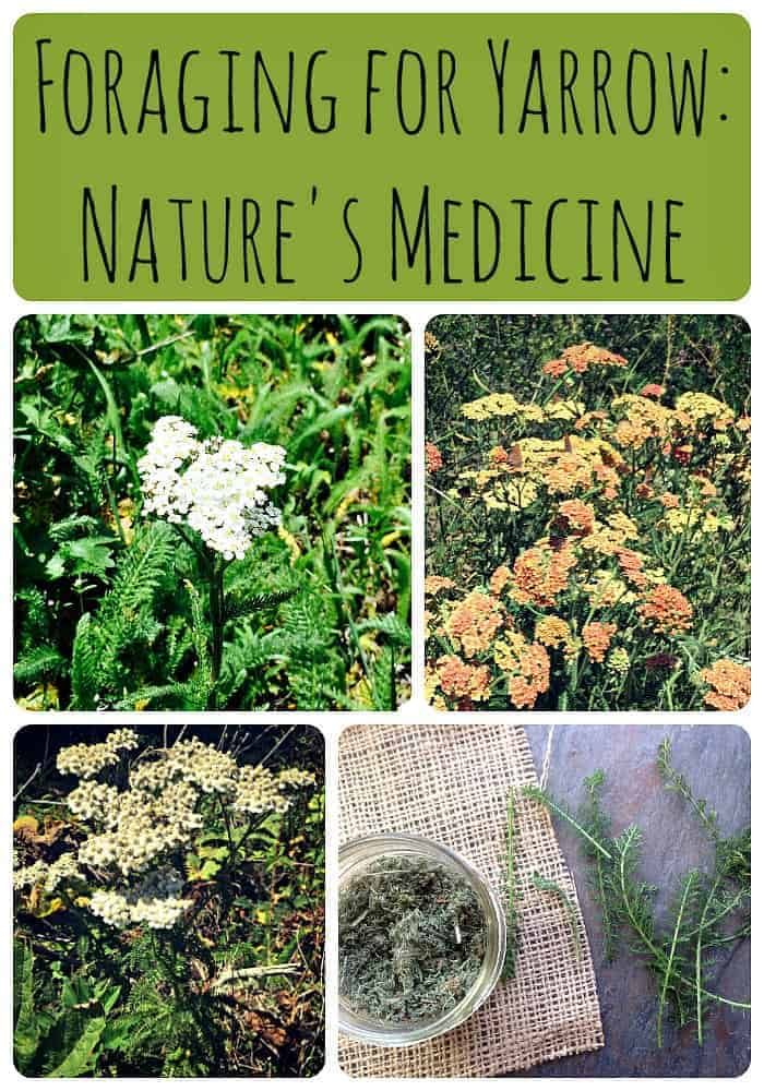 Foraging for Yarrow Nature's Medicine