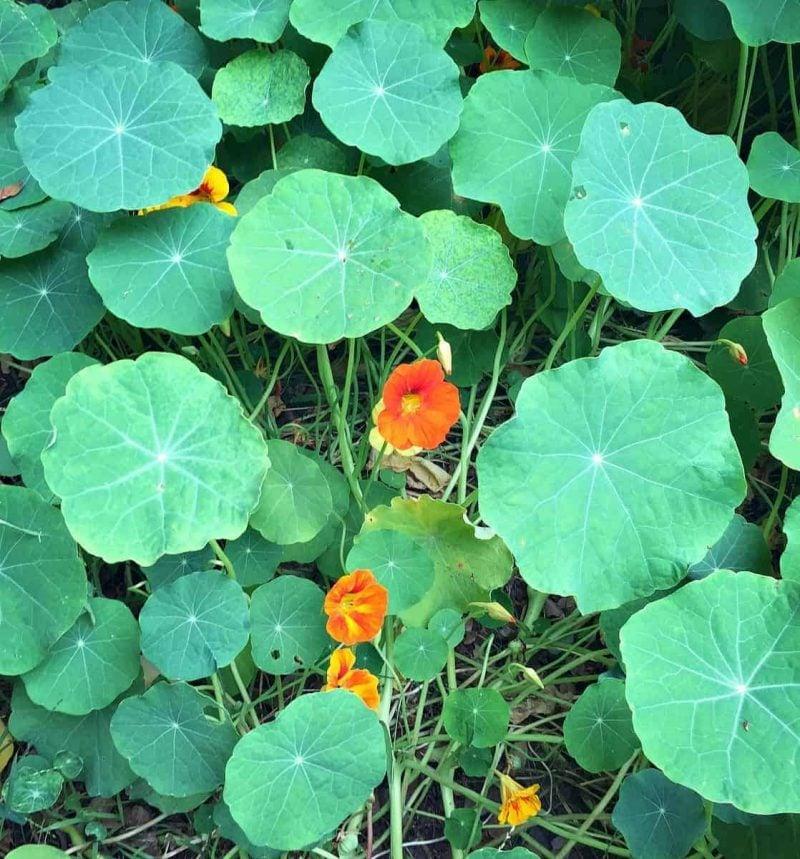 big nasturtium leaves