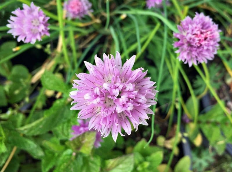 pink chive blossoms