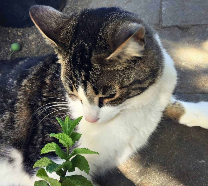 cat smelling fresh mint
