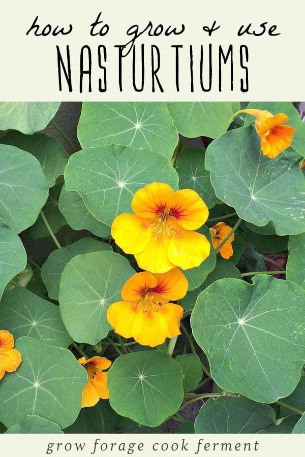 Nasturtium flowers growing in a garden.