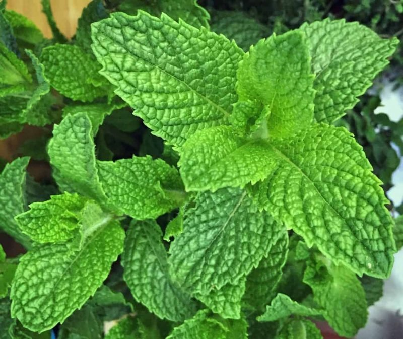 mint close up