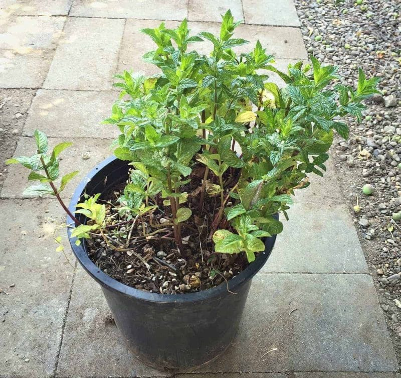 mint in pot