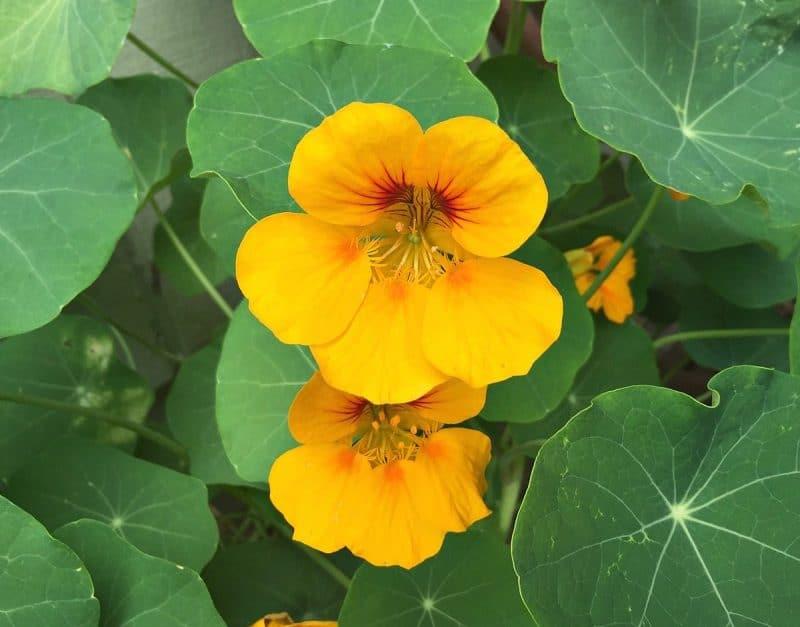 nasturtium flowers yellow