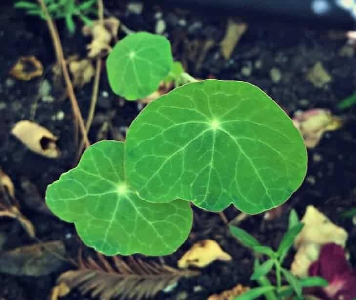 nasturtium sprouts
