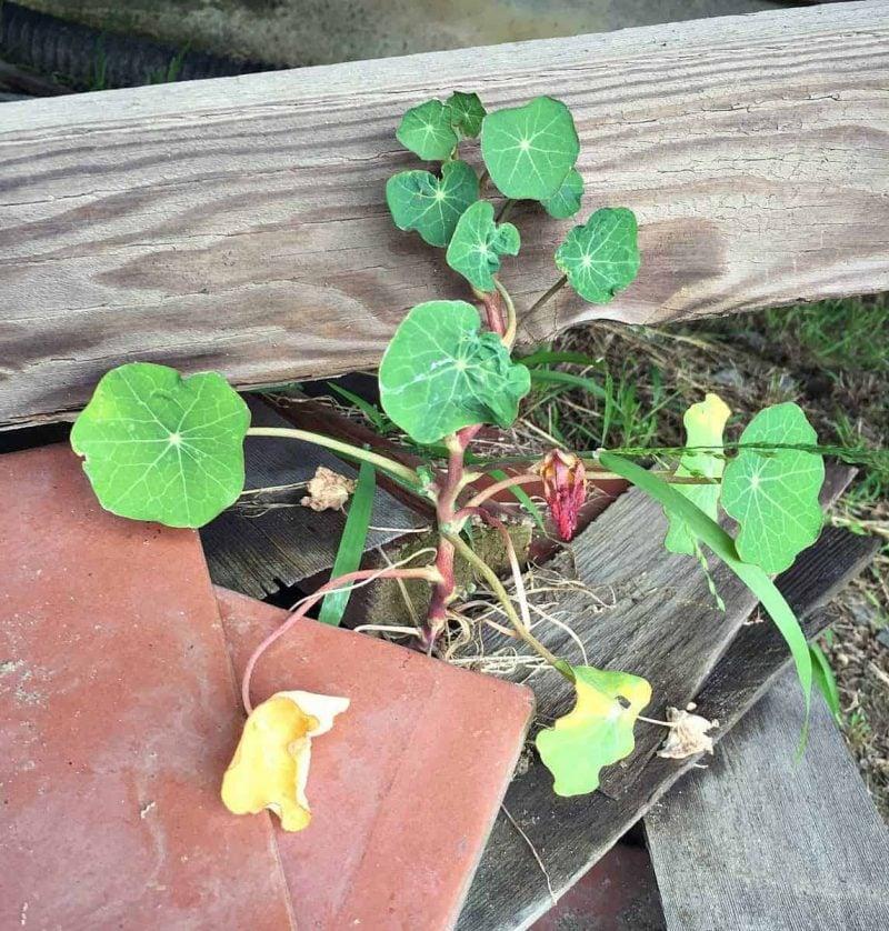 nasturtiums growing tough