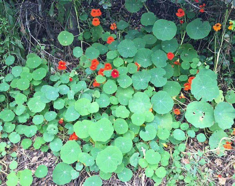nasturtiums growing wild
